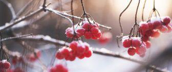 Clustered berries